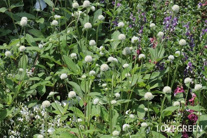 センニチコウの花期は、6月~10月頃。真夏の暑さにも強い特長があります。丸いポンポンのような花に見える部分は、苞葉(ほうよう)という花の付け根の葉です。センニチコウは「千日紅」と書くのですが、それは、花が色あせない性質に由来します。