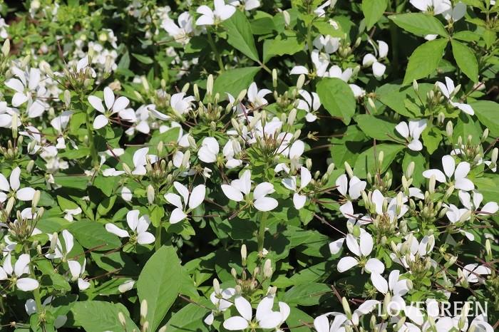 クレオメは6月~10月頃、まるで蝶が舞っているような花を咲かせます。太くて長い雌しべと、さらに長い雄しべが特徴的です。暑さに強く、こぼれ種でも増え、丈夫で育てやすい草花です。