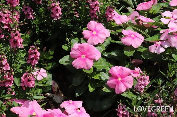 ニチニチソウの花期は5月~10月頃。暑さにも強い光にもとても強く、それほど手入れをしなくても次々と咲き続ける特長があります。  本来は多年草ですが、寒さが苦手なので日本では一年草として扱われています。