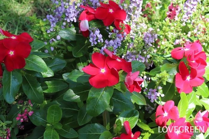 ニチニチソウの花色は、ピンク系濃淡、白、赤、紫、複色などがあります。最近は黒に近いシックな色合いや、咲き方もカクタス咲きやフリンジ咲き、小輪種など、種類がとても豊富になってきました。