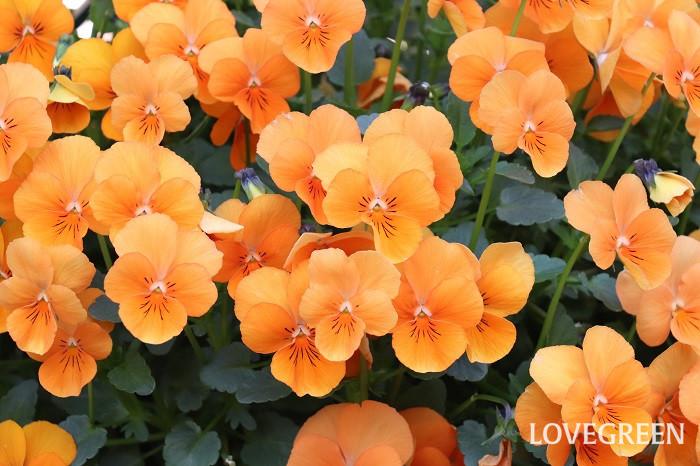ビオラ  秋から春まで咲く、丈夫で育てやすい一年草は、パンジー、ビオラ、スイートアリッサム、デージー、ハボタン、ストックなどがあります。
