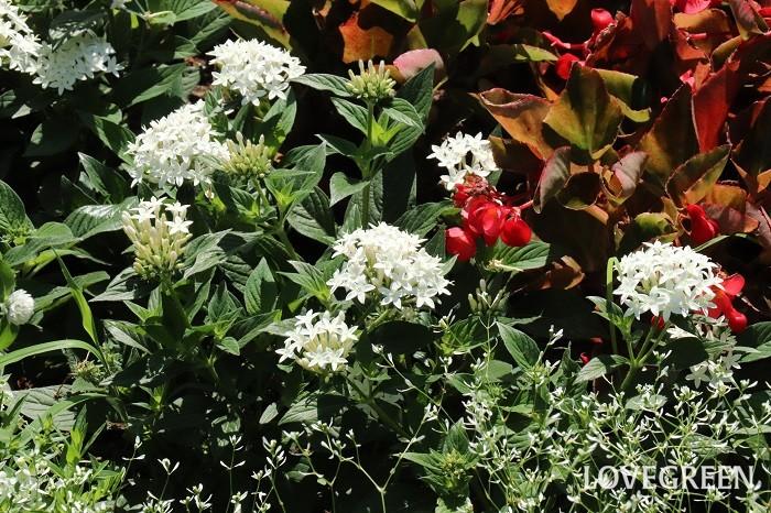 ペンタスの花期は5月~10月頃。小さな星型の花が傘状に30~40輪ほど集まって咲きます。暑さに強く、春から秋まで長い期間開花する花苗の定番の一つです。蒸れに若干弱いところがあるので、真夏は風通しが良い半日陰くらいの場所で管理すると状態良く育ちます。