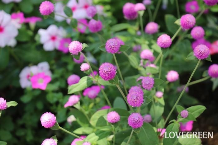 センニチコウの花色は白、ピンク、紫、赤、黄色などがあります。センニチコウは乾燥しても色があせないので、長い間観賞できます。また、切り花にも向いていて、ドライフラワーにしても楽しめます。