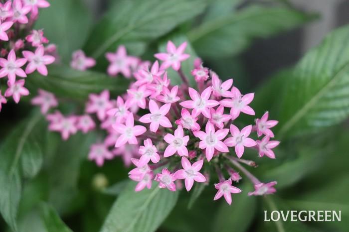 ペンタスの花色はピンク、白、紫、赤など多彩です。葉は先端のとがった楕円形で濃い緑色、葉脈がくっきりと目立ちます。葉に斑が入ったタイプや、矮性種と高性種もあります。