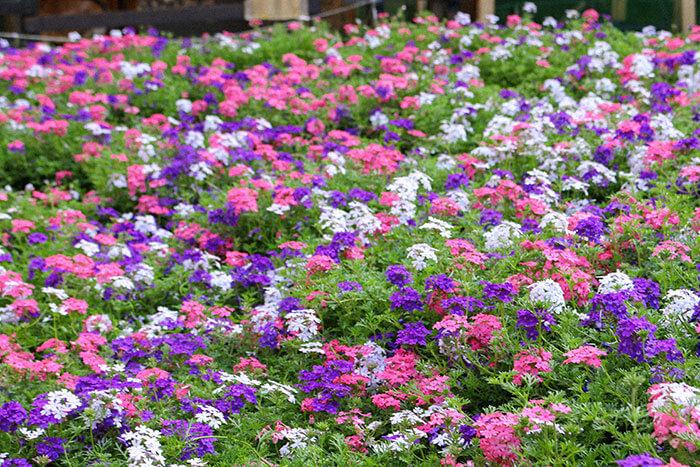 タピアンの第一の魅力は、なんといっても存在感のあるお花!丸いボンボンのようなお花が咲くので、庭でお花のカーペットを楽しみながら、雑草を防ぐことができますよ♪ 見た目が良くなり雑草を押さえる一石二鳥の効果がタピアンの魅力です♪