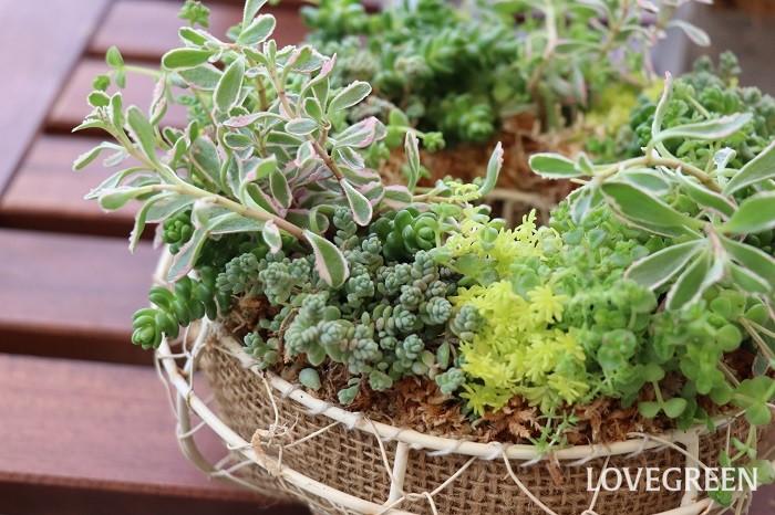 セダムは北半球に分布し、500種類以上の品種が確認されています。万年草やベンケイソウとも呼ばれる、乾燥に強い野草であり、一番身近な多肉植物です。植物学的には「ベンケイソウ科」に属し、山地や海岸地の岩上などのわずかな土に根を張り生育しています。日本の南方には温暖地系品種が、日本の北方には寒冷地系品種が生育しており、種類によって寒さに若干弱いタイプと、寒さに強いタイプがあります。セダムの学名sedumは、ラテン語のsedre(座る)という意味を含み、岩石や壁に着生することにちなんで名前が付けられているそうです。  セダムにはグランドカバーとして使える品種や、「虹の玉」のように葉がぷっくりとしたもの、枝垂れるタイプなど様々あり、葉の形や大きさ、花姿もそれぞれ異なります。そのたくましい強さを生かしてグランドカバーや屋上緑化によく使われますが、一方で、繊細な葉の形や美しい色を生かして寄せ植えやリースを作り、コンパクトに育てて楽しむこともできます。