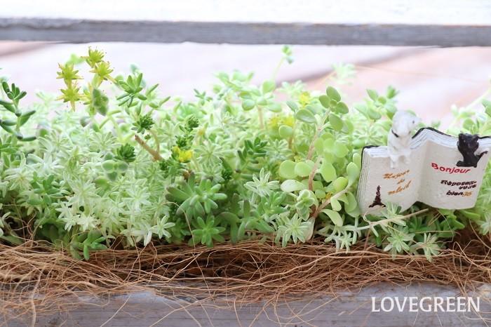 セダムの多くの種類は、初夏に茎の頂に黄色の花をつけます。草丈は種類によって3~50㎝くらいです。  日なたと水はけの良い用土を好み、過湿や蒸れを嫌います。乾燥に強く、切った茎を土にまいておけば根付くほど強健です。肥料は特にあげなくても育ちます。地植えの場合は水やりはほとんど不要です。  乾燥に強く、少ない水で育つセダムは、少しの土で生育でき、軽量で風に強い緑化ができます。ローメンテナンス、ローコストでできる緑化の代表植物とも言えます。メキシコマンネングサ、マルバマンネングサ、キリンソウ、ミセバヤなどのセダムは、屋上緑化用としてよく使われます。  セダムの花言葉「枯れることのない愛」は、水分を含み、乾燥気味の土で枯れずに育つ姿から付けられたと言われています。「星の輝き」は、セダムは小さな星型の黄色い花を無数に咲かせることからイメージされました。「私を思ってください」については、セダムが枯れにくいことから、放置されてしまうことがあるので付けられたと考えられています。