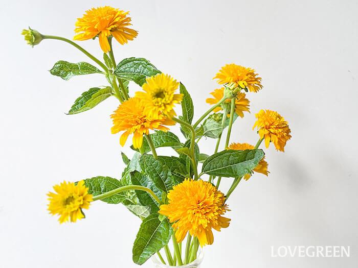 1本でたくさんの花が楽しめて、長持ちするヘリオプシス。比較的安価なので、気軽に飾ることのできる花です。