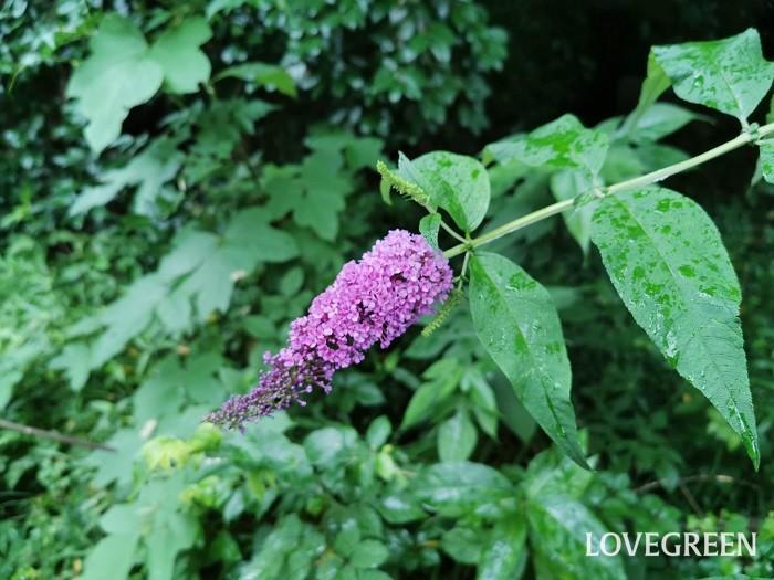 科名:ゴマノハグサ 分類:落葉低木 ブッドレアは、初夏から秋にかけて花を咲かせる落葉低木です。甘い香りが特徴です。