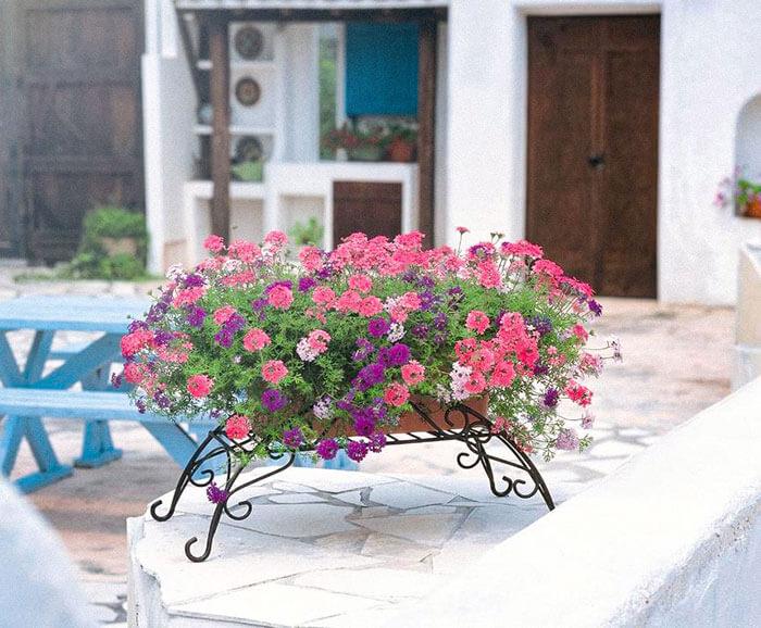 また、グランドカバーとしてだけではなく、鉢植えやハンギング仕立て、寄せ植えなどで楽しむこともできます♪