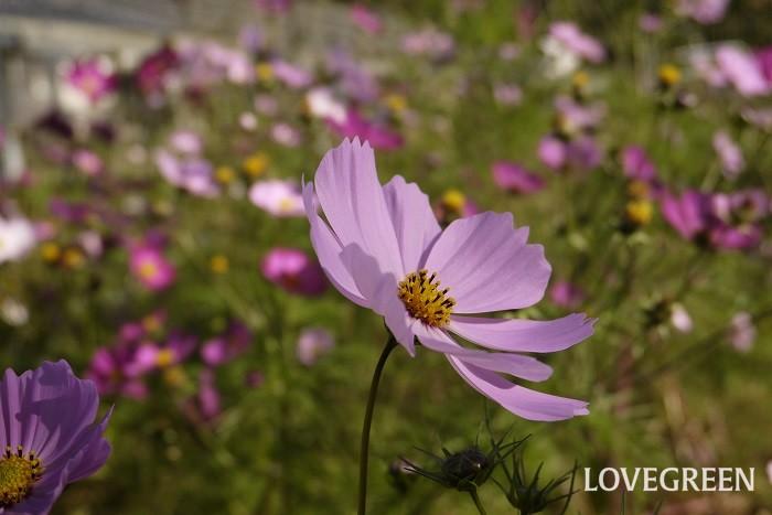 科名:キク科 分類:一年草 コスモスは風にそよぐ姿が美しい秋の花です。切り花でも庭植えでも人気があります。