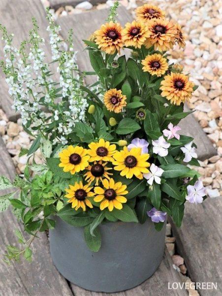 写真は、大ぶりの花が特徴的なルドベキアを2種と、ニチニチソウ、アンゲロニア、斑入りアメリカヅタ、スピランサス'ゴールデンたまごぼーる'を使った、暑い夏に元気をもらえそうな明るい雰囲気の寄せ植えです。