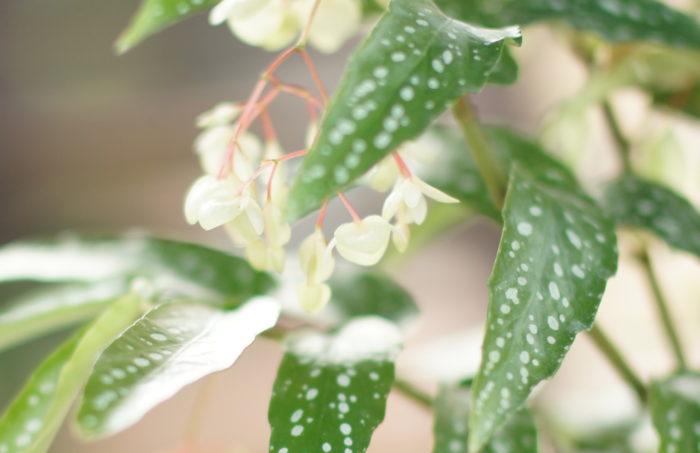 観葉植物、ベゴニアのアルボピクタの花は、めずらしいカラーのライムグリーンの花を咲かせます。