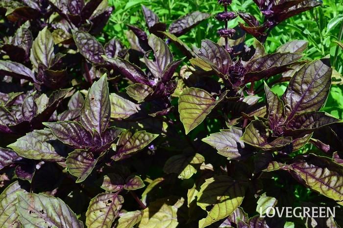 赤バジル、紫バジルで紹介したダークオパールバジルは、鑑賞用のカラーリーフとしても流通しています。