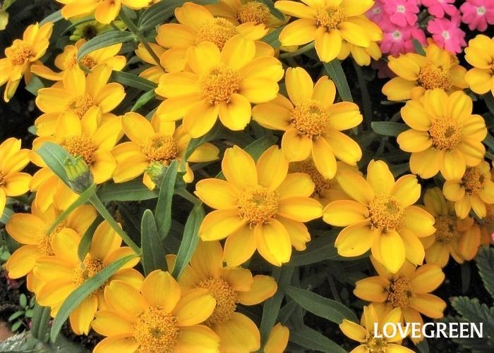 ジニアは5月~11月頃花を咲かせます。暑さに強く丈夫で育てやすい特長があります。ヒャクニチソウとも呼ばれ、百日というだけあって、開花期間が長く次々と咲き続け、実際は百日以上咲きます。