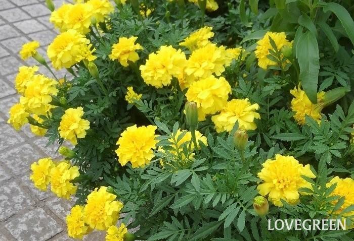 マリーゴールド  一年草は発芽して開花し、種をつくって枯れるまでが一年以内の植物。花が大ぶりで華やかだったり、花付きも良いものが多いです。春に、春から秋まで咲く一年草を植え、秋に、秋から春まで咲く一年草に植え替えると、1年に2回植え替えるだけで周年花が楽しめます。