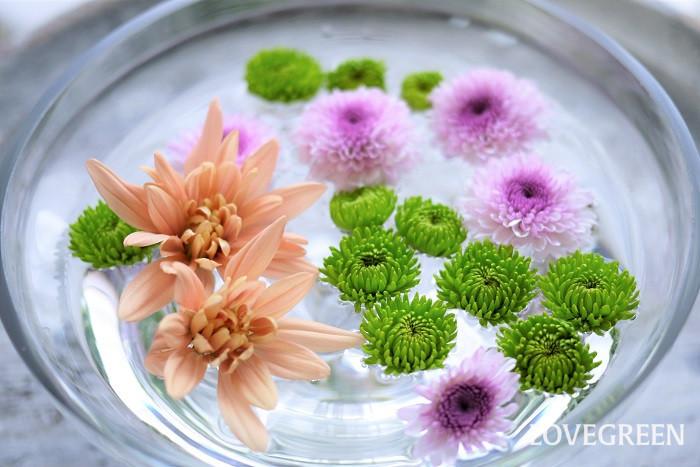 菊の花言葉を紹介します。  菊「高貴」「高尚」 菊の花色別の花言葉 白色の菊「真実」 ピンク色の菊「甘い夢」 黄色の菊「敗れた恋」