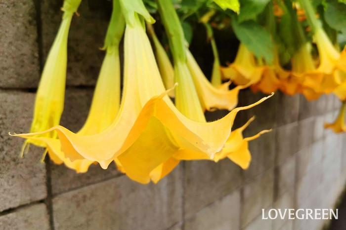 科名:ナス科 分類:落葉低木 エンゼルストランペットは名前の通り、トランペットのような花を咲かせる花木です。花には芳香があります。