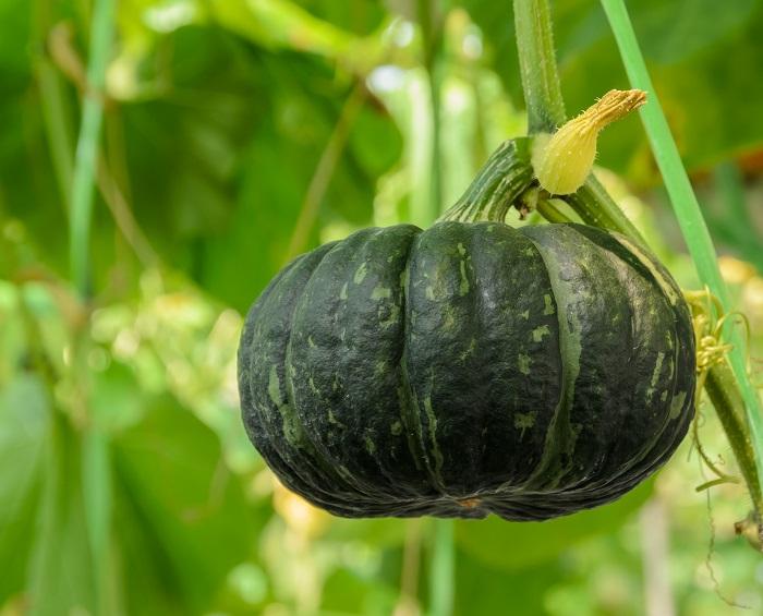 カボチャの葉は大きて丸く、つるは土を這うように伸びて生長します。家庭菜園など狭い場所では、実が小さい品種を選んで支柱仕立てで立体的に育てることもできます。カボチャの雌花は花の根元がふくらんでいて、雄花と受粉することで実がなります。  関東ではカボチャの収穫時期は夏ですが、秋にはハロウィンでカボチャか使われたり、冬至にカボチャを食べる風習があります。夏を過ぎて秋や冬にカボチャを飾ったり食べることができるのは、カボチャの優れた保存性のおかげです。夏に収穫したカボチャは冬まで保存しておくことができるため、冬の時期にカボチャを食す文化ができたと言われています。  カボチャの原産地である南アメリカから、コロンブスの新大陸発見とともに、ヨーロッパに伝わったのち、中国、カンボジアなどから日本へと順に伝わって来たのが日本カボチャです。水分が多く、甘みが少ないという特徴があり、煮物に最適で煮崩れしません。  カボチャを漢字で書くと「南瓜」。このカボチャという名前は、16世紀にポルトガル船で鉄砲とともに日本に運ばれた際、カンボジアから届いたということで「カボチャ」という名になったそうです。  カボチャの花言葉「広大」は、その言葉のとおりでカボチャが大きく育つことから付けられたそうです。