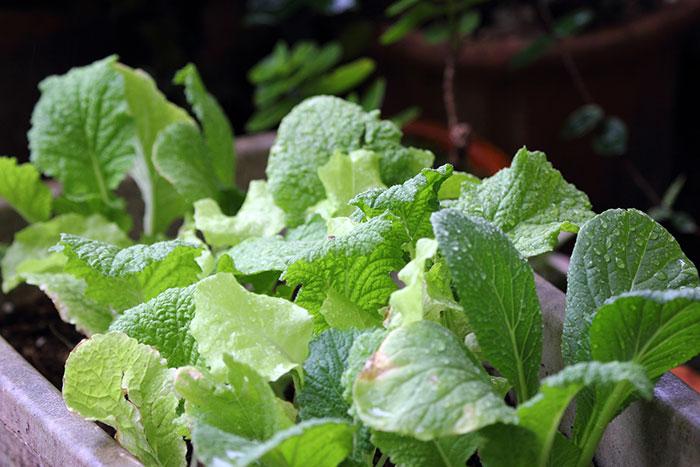 初心者でも比較的育てやすくおすすめなのは葉物野菜。最大の敵である害虫対策をしっかり行えば、比較的早く、上手に収穫までたどりつけますよ