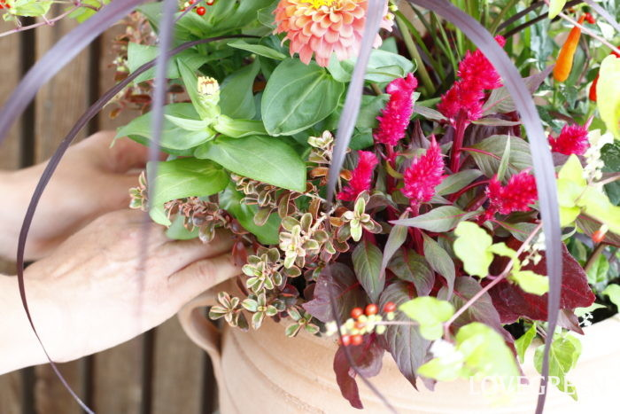 写真は、ケイトウにパープルファウンテングラスや観賞用トウガラシ、ジュズサンゴの実など秋らしいアイテムを組み合わせた寄せ植えです。残暑が長いと冬までの期間が短くなってしまい、なかなか秋を楽しむ時間が限られてしまいがちですが、秋風を感じるような寄せ植えを作って秋を思い切り満喫するのもいいですね。  暑い夏にも活躍し、風情を感じる秋の演出もできるケイトウ。ぜひお気に入りのケイトウを見つけてみてくださいね。