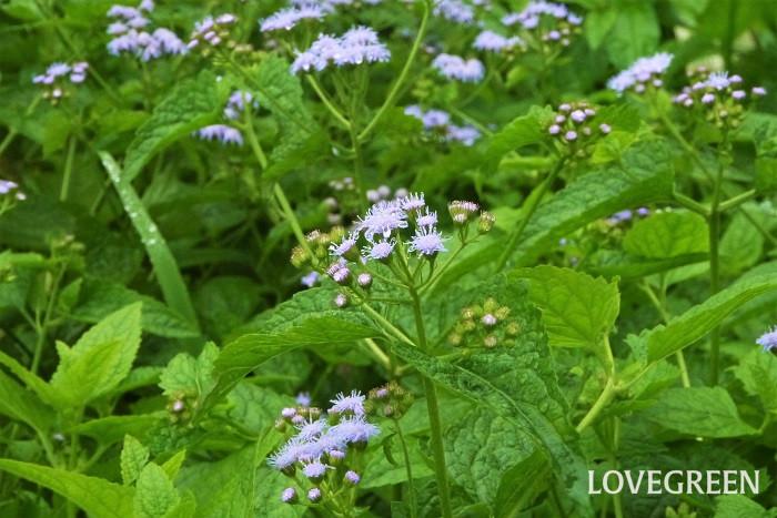 フジバカマ(藤袴)の種類、似た花