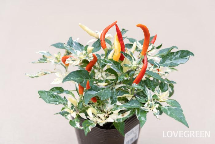 実の色は赤、黄色、オレンジ、黒、紫、白、緑などバラエティー豊富な色合いで、実の形も食用のトウガラシのような細長い形の他、丸い大きい実や小さな実など様々です。最近は葉色もこだわったタイプも登場し、緑色の他、黒紫色、紫と白の斑入り、緑と白の斑入りなどがあり、カラーリーフとしても大変人気があります。