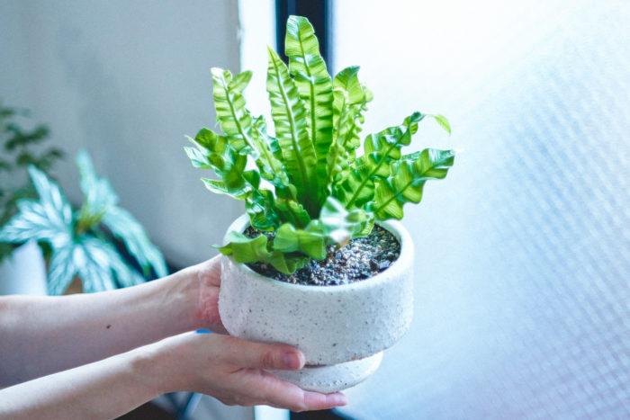 お気に入りの植物「アスプレニウム」