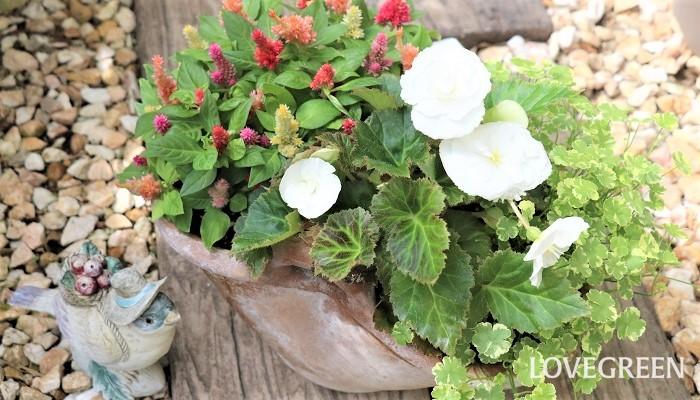 写真は、カラフルなケイトウを使った寄せ植えです。白色のフォーチュンベゴニアと、斑入りのチドメグサを合わせています。ケイトウは、寄せ植え、ハンギングバスケット、花壇植えなど様々な植え方ができます。