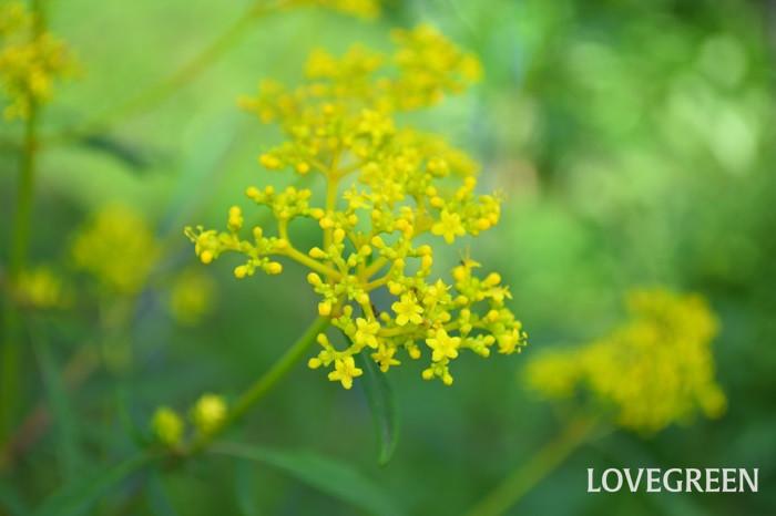 オミナエシ(女郎花)の花言葉