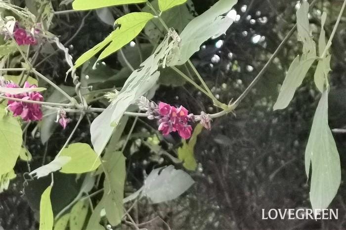 クズの花は藤を逆さにしたようなフォルムをしています。赤紫色の房のような花を上に向かって伸ばし、下から順に花を咲かせていきます。マメ科の植物なので、よく見ると一つ一つの花は豆の花特有の蝶のような形をしています。  クズ(葛)の花の香り クズの花はとても良い香りがします。甘く爽やかなフルーツのような香りです。グレープジュースの香りにも少し似ています。  クズの花は大きな葉に隠れてしまっていることが多いのですが、見つけたら香りを確認してみてください。びっくりするくらい甘い香りを楽しめます。