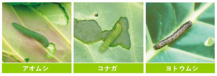 秋冬野菜で遭遇する害虫たち