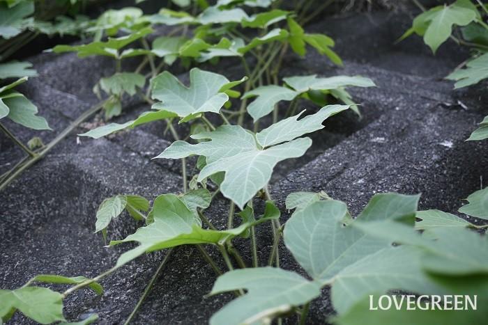 日本では食用や薬用にされているクズですが、アメリカでは迷惑な植物として扱われているようです。  クズは葉も栄養価が高く牧草としても役立つ、さらにマメ科の植物は根に根粒菌を持っているので土地が肥沃になるということから、その昔アメリカで積極的にクズを育てたそうです。結果クズが大量に繁茂し駆除に手間がかかったので、今では害草となってしまいました。  迷惑だけど、有用植物でもあるクズ(葛) 日本でも街中の公園や空き地、河原、ちょっと手入れをさぼってしまった庭などにクズが繁茂しているのを見かけます。つるは10mにまで生長し、根が深くいため駆除が困難な植物ではありますが、食用や薬用になり、夏から晩夏には美しく香りの良い花も楽しめる魅力的な植物です。