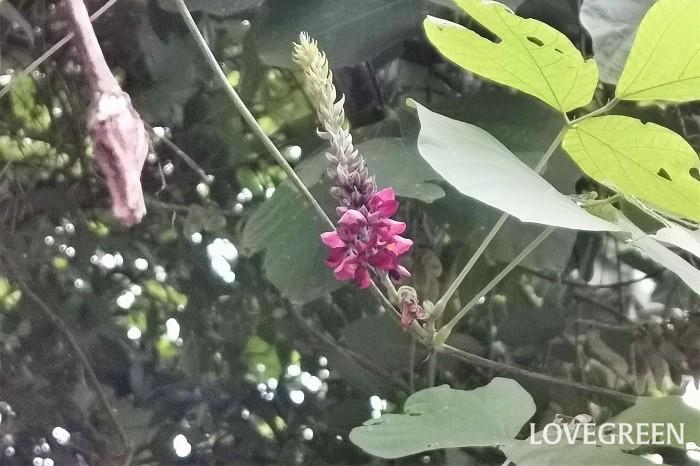 クズの花言葉を紹介します。  芯の強さ 快活 つるも根も丈夫なクズらしい花言葉です。  ▼クズの花言葉はこちら