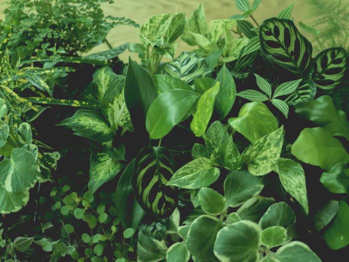 観葉植物 初心者 育てやすい