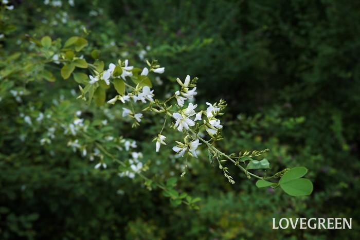ハギという植物名は、マメ科ハギ属の総称として使用されています。ハギのなかでも有名な種類をいくつか紹介します。  ヤマハギ 学名:Lespedeza bicolor ヤマハギは日本の山野に自生するハギ。花は赤紫色で葉はたまご型、よく分岐するのが特徴です。  ミヤギノハギ 学名:Lespedeza thunbergii ミヤギノハギは、枝垂れるように咲く姿が美しいハギです。葉の先が少し尖ったような形をしています。公園や庭園で見かけるハギの多くはミヤギノハギです。  マルバハギ 学名:Lespedeza crytobotrya マルバハギも日本の山野に自生するハギです。名前の通り葉は丸く、花序が短いので花は葉の間に埋もれるように咲きます。  キハギ 学名:Lespedeza buergeri キハギは他のハギに比べて大きく、2mほどまで生長します。花は白に近い淡い黄色に紫の斑が入ります。  江戸絞り 学名:Lespedeza ハギの園芸品種です。白地にピンクの絞りが入ったような花色が美しい品種です。花付きも良く、見映えがするので人気があります。