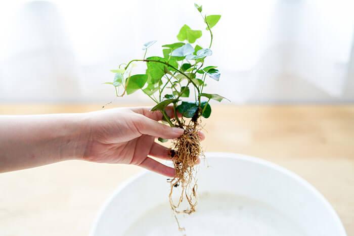 ②植え込みたい観葉植物の土を洗い落として、根だけの状態にします。