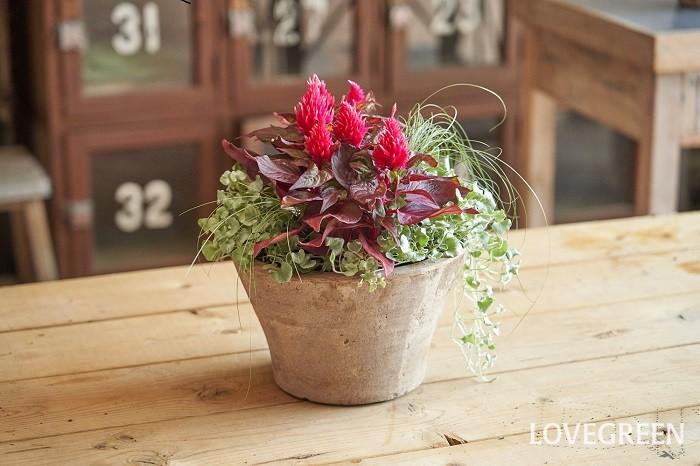 写真は、ケイトウ2ポットを中心に、垂れ下がって伸びるディコンドラと、細葉のラインが美しいカレックスを組み合わせた寄せ植えです。ケイトウは暑さに強く真夏に用いるイメージもありますが、ふわふわした暖かみのある質感から秋の寄せ植えにもぴったりな花です。