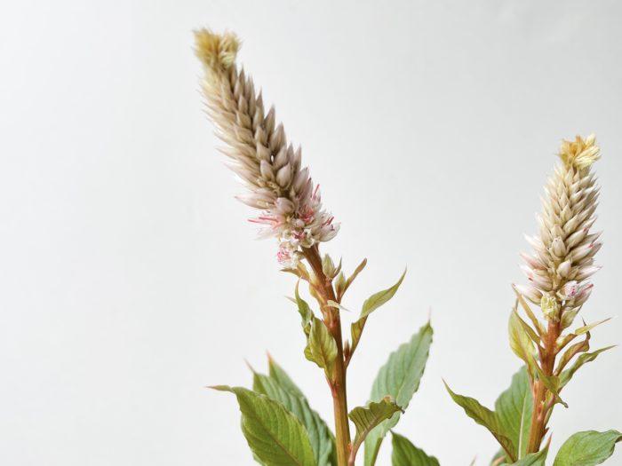 花穂だけでなく、茎や葉まで全てがアンティークな色合いでとても美しいセロシアです。