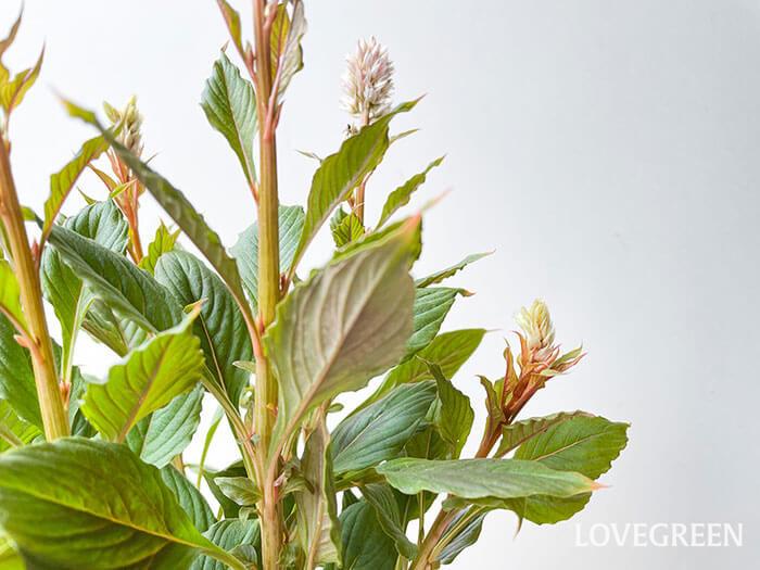 葉っぱもアンティークな色合いなので、寄せ植えにもおすすめ。秋らしいシックな寄せ植えに合いそうですね♪