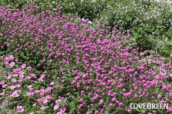センニチコウは、寄せ植えや切り花として用いられる際、メインの花を引き立てる名脇役とされることも多いですが、写真のように盛大に植えてボーダーガーデンがつくられた姿を見ると、ものすごい迫力がありその美しさに魅了されます。