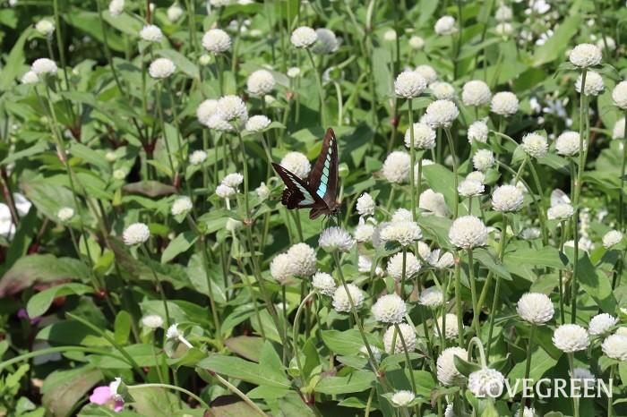 センニチコウの花期は、6月~10月頃。真夏の暑さにも強い特長があり、初夏から秋まで楽しめます。丸いポンポンのような花に見える部分は、実は花ではなく、苞葉(ほうよう)という花の付け根の葉です。本当の花は、苞葉の隙間にとても小さな花が咲いています。