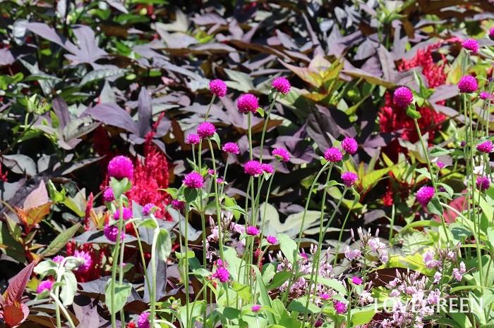 写真のように、濃いピンク色や紫のセンニチコウにダークなカラーリーフを合わせると、大人っぽい雰囲気を演出することもできます。