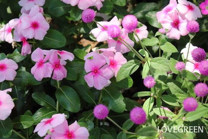 センニチコウは、花期が近いニチニチソウとの組み合わせも抜群。同系色で合わせても花の咲き方が全く異なるため、互いに美しさを引き立て合います。