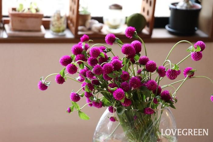 センニチコウは、苞葉の部分は色があせないので長い間観賞することができ、切り花やドライフラワーにも向いています。センニチコウは「千日紅」と書くのですが、それは、花が色あせない性質に由来します。ちなみに、センニチコウの花言葉は「変らない愛情」「不朽」。これもセンニチコウの花期が長く、鮮やかな花色がいつまでも変わらないことからイメージして付けられたと言われています。  ポンポンのような苞葉が可愛いセンニチコウは、夏に強いので真夏に大活躍する花ですが、その丸くてほっこりする雰囲気が秋の寄せ植えにもぴったりと思います。ぜひ、センニチコウを使って秋の寄せ植えを作ってみてくださいね。