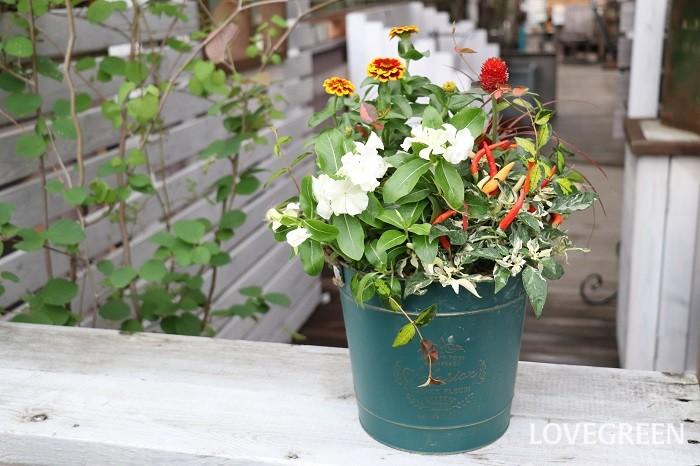 写真の寄せ植えは、観賞用トウガラシを含めて6種の草花を使っています。3ポットで作る寄せ植えと比べると、組み合わせや作り方に少しテクニックが必要ですが、初心者の方にもできるように作り方を詳しく教わってきたので、ぜひ記事を参考に観賞用トウガラシを使った寄せ植えを作ってみてくださいね。