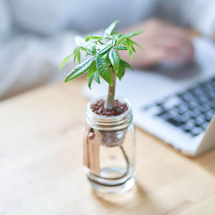 ミニ観葉植物 パキラ