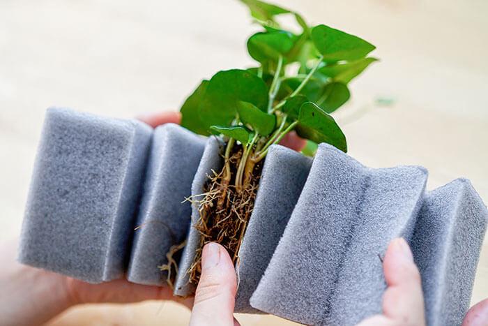 ③水を吸わせたマジカルフォームの切れ目に、土を落とした根っこ部分を差し込みます。