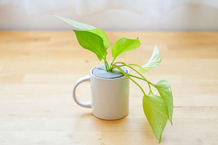 植物用の鉢がなくても、マグカップなど底に穴のあいていない容器で栽培できるので、身の回りの器がなんでも鉢の代わりに使えますよ♪