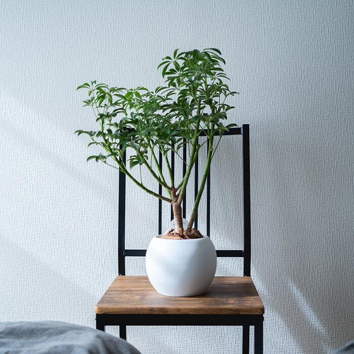 観葉植物シェフレラ